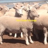 300 x 1st Cross Store Lambs Wanted