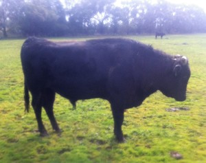 Wagyu Full Blood (Stud) Bulls for sale