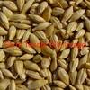 Barley (Spartacus) 500 mt