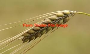 F 2/3 Barley 15/16 Season x 130 m/t