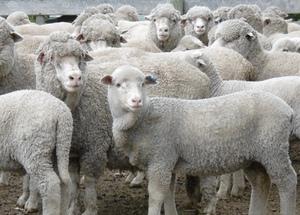 Mulesing leaves sheep industry exposed