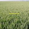 WANTED Oaten/Wheaten Standing Crop