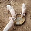 Pigglets