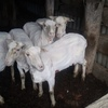 100 x 5-6yo Glendemar blood Ewes