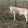 Aussie White x Wiltipoll Ram