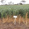 AURORA DURUM WHEAT SEED FOR SALE available South Australia, Victoria and Southern New South Wales.