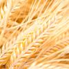 World Grains update
