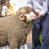 Yarrawonga, Collinsville and New Armatree Ram sale results