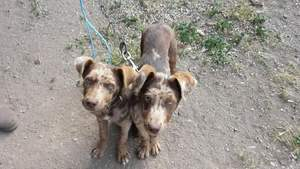Kelpie Coolie X Sheepdogs