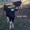 Piglets & Calves For Sale
