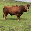 Stud Limousine Bull for Hire