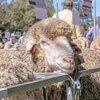 Lachlan, Wanganella and Poll Boonoke Ram Sale Results