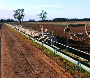 South Australian Lamb producers kicking goals