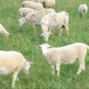 100-400 Store Lambs Meat Breed Wanted