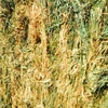 Awnless Barley Hay For Sale - Good weights 8x4x3
