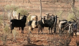 NSW Goat numbers drop an alarming 40% in 2017