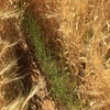 Management options for regrowth in maturing crops
