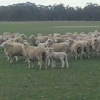 120 1st X Border Ewes with 140 Lambs