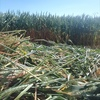 New Season Wheaten Hay For Sale - Can be baled in 8x4x3's or Heavy Rolls - Please inquire