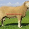 Poll Dorset Rams For Sale