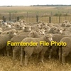 Wanted 100-150 Merino Ewes
