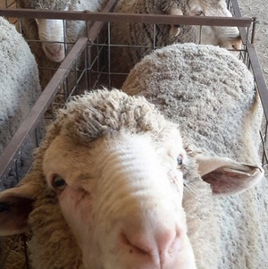 Borung Poll Merino's to $4,100