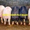 Purebred Berkshire Pigs