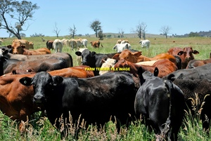 WANTED Agistment/Lease for Cattle