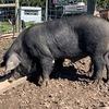 Large Black pig - breeding boar