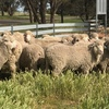 Merino and Poll Merino rams for sale - Rich Bold Crimping - Heavy Cutting on Heavily Muscled Merino's
