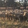 Merino ewes