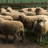 40 x Poll Dorset Rams 18 Months Old.