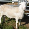"STUD RAM ""Aberline Curly"" - SELLING BY EXPRESSION OF INTEREST (Closing 30th November 2016)"