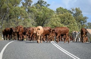 Cattle Council of Australia looking to build a stronger representative body