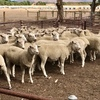 1st x Ewe Lambs