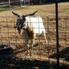 Male Goat 'Billy'