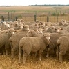Merino Ewes Approx 100