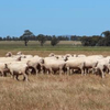 300 x Wallaloo Park Light Green tag merino ewes