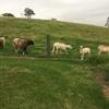 Damara/Damara cross flock