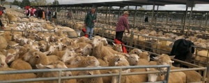 Dearer trend at Bendigo Sheep and Lamb sale - 18/12/2017
