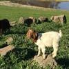 Full Blood registered Boer Goats