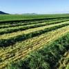 HAY - ITALIAN RYE GRASS & CLOVER
