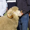 Westray, Tattykeel, Mallee Park and Newbold Ram Sale results