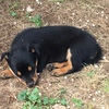 Pure Bred Kelpie Pups For Sale