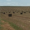 2800 bales of New Seasons Vetch and Medic Mix Hay For Sale