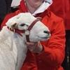 Amazing Tattykeel Australian Whites Ram and Ewe Sale