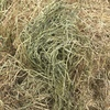 Rye and lucerne hay 10% lucerne Small / Little squares for sale