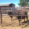 Wagyu bulls