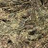 Small bales, Pure sub clover at Ballarat