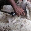 Wool down again on Thursday